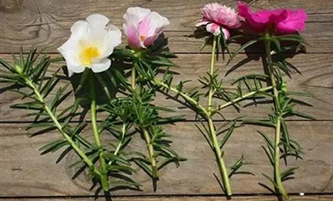 各类草本花和灌木花卉用枝条扦插繁殖